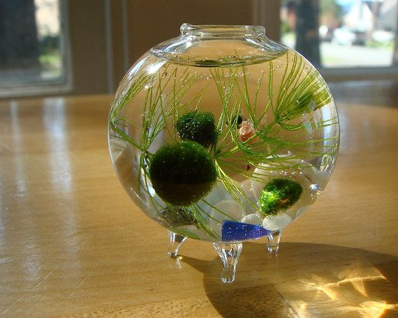 79 best ideas about something smell fishy on pinterest for Betta fish moss ball
