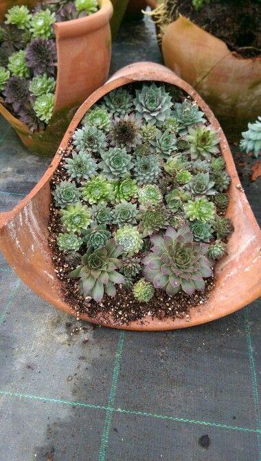 Semperviums in a broken pot