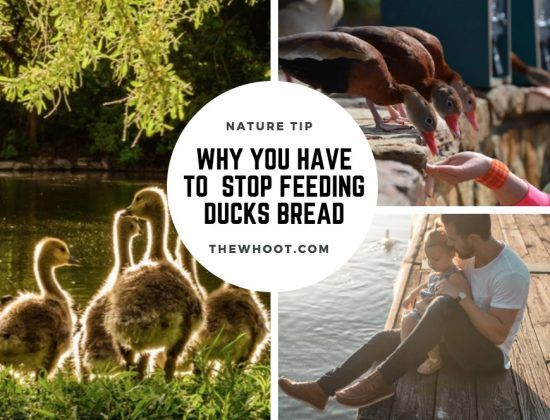 Find out why feeding ducks bread does more harm than good. Our post includes what you can feed them and also some great info on Ducks.