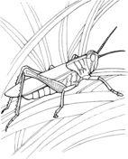 Gräshoppa i trädgården Målarbok