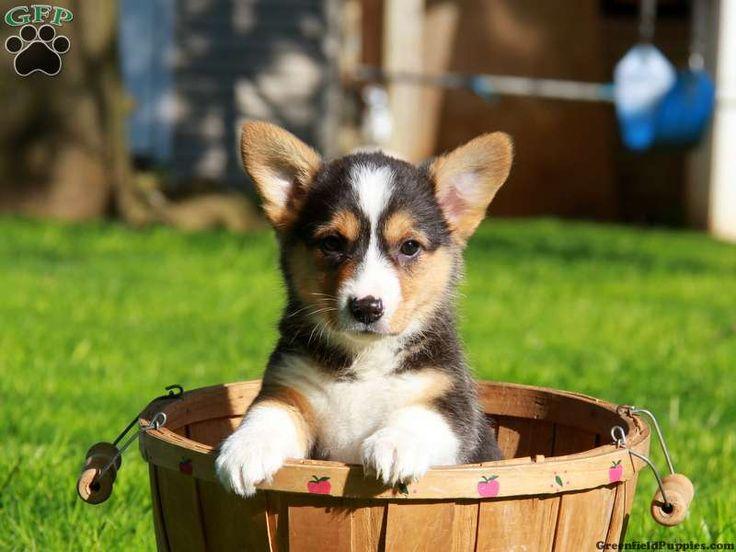 Pembroke Welsh Corgi Puppies For Sale In PA!