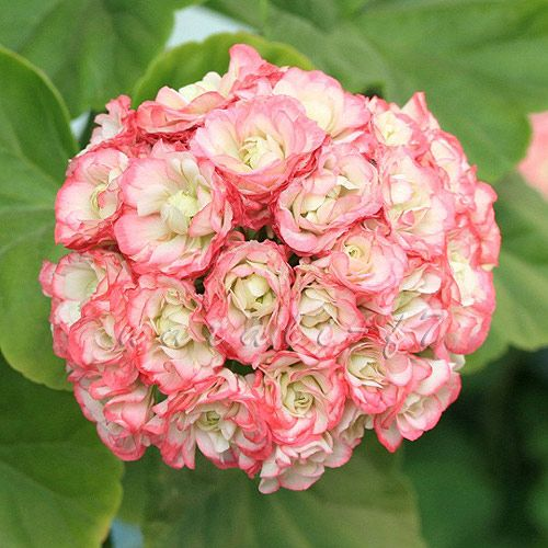 Pelargonium Apple Blossom Rosebud Plants Geraniums