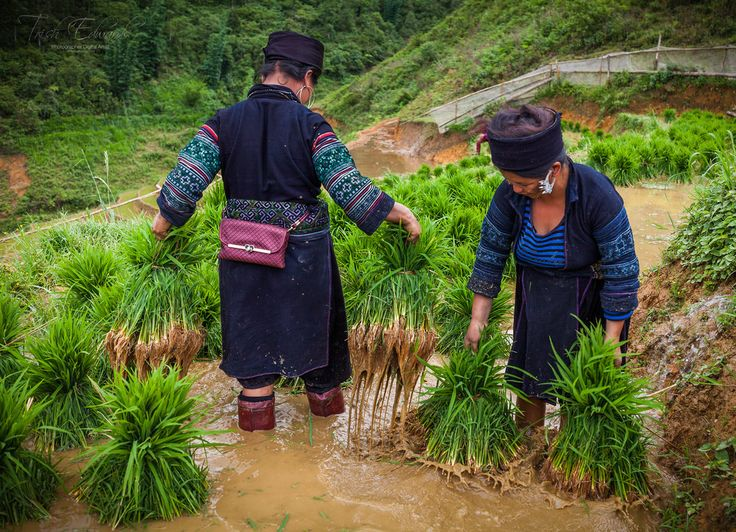 https://flic.kr/p/JjdRY5 | Black Mung ethnic minority tribe of northern Vietnam | Part of their everyday life is in the fields planting rice or preparation of