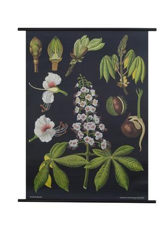 Horse Chestnut Botanical Poster