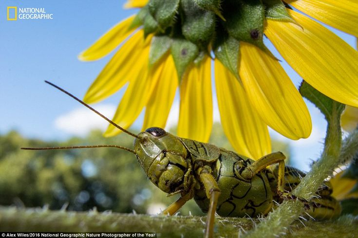 While snapping pictures of flowers at eye level photographer Alex Wiles captured this shot of a grasshopper inspecting the plants