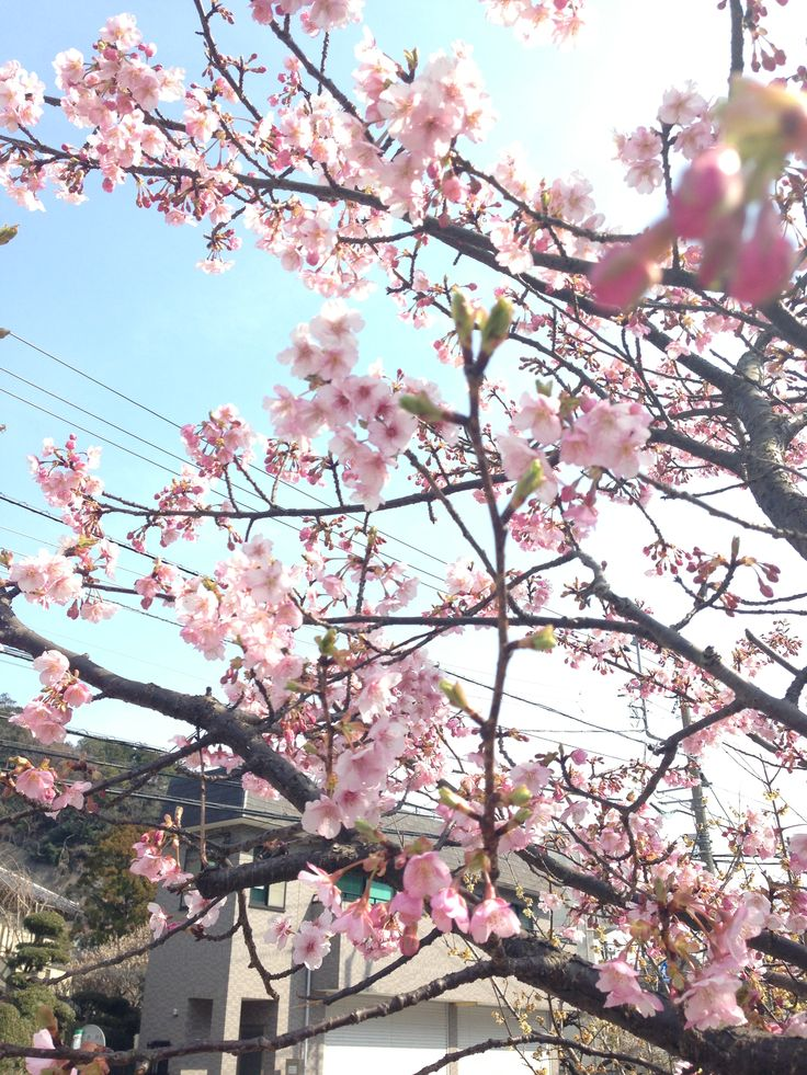 cherry blossoms start blooming @ Kitakamakura