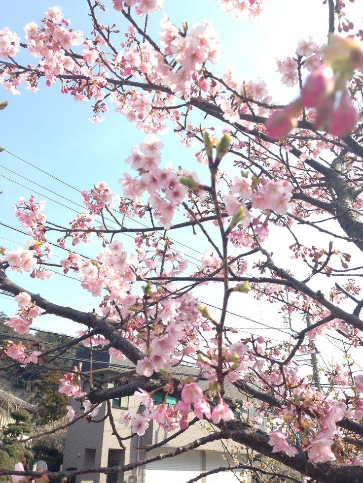 cherry blossoms start blooming @ Kitakamakura
