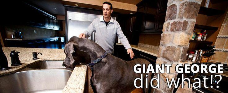 Great Dane German Mastiff Giant George World S Biggest