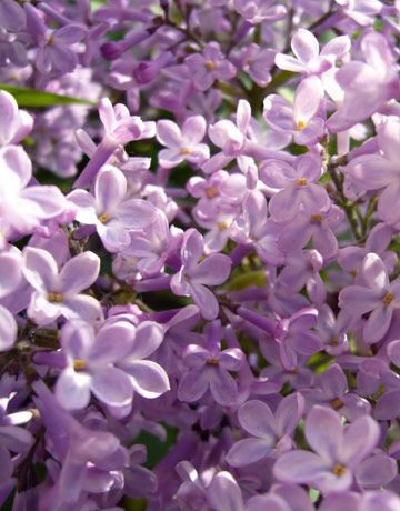 So, I just realized that lilac and stephanotis (the tiny white flowers with pearls) could be sisters. Maybe that's why I'm so in love....