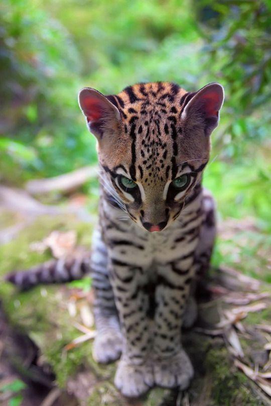 awwww! Cute! #Ozelot