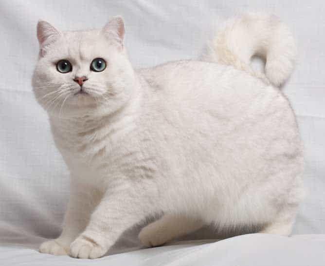 British Shorthair Colours Full Guide My British Shorthair In 2021 British Shorthair Kittens Cats British Shorthair