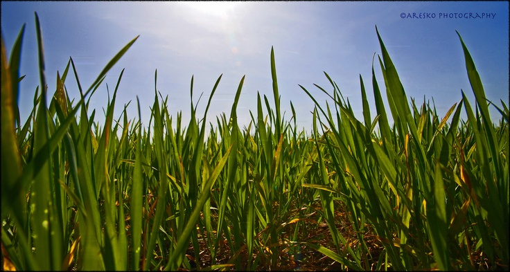 From right down low in the early growth of the crops, shooting up into the glorious sunshine and beautifully blue sky.  Perfect growing conditions.