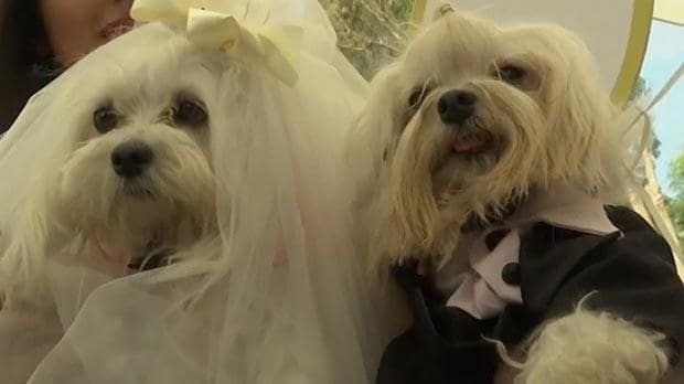 Video Of The Week — Wedding Bells For Canine Couples In Peru Kids News Article