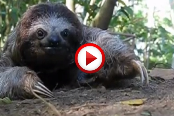 Sloth attack #animals, #videos, #videobox, #pinsland