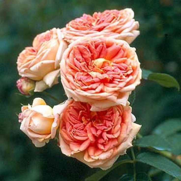 Alchymist: (Modern Climber) An unusual but beautiful climbing rose with good foliage and strong vigorous growth. The flowers are very double and a mixture of yellow and yolky-orange, paling with age, with a strong scent and long season. 8ft x 11ft. Some shade.