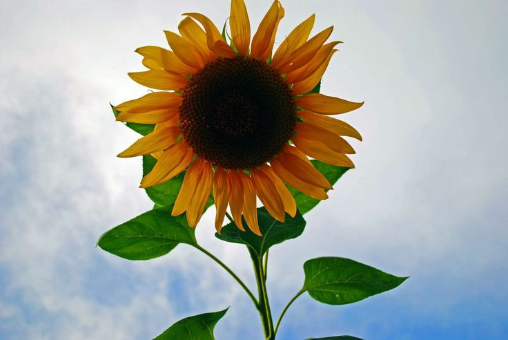 why not try these out http://earth66.com/botanical/picture-sunflower-took-yesterday-walking-lake/