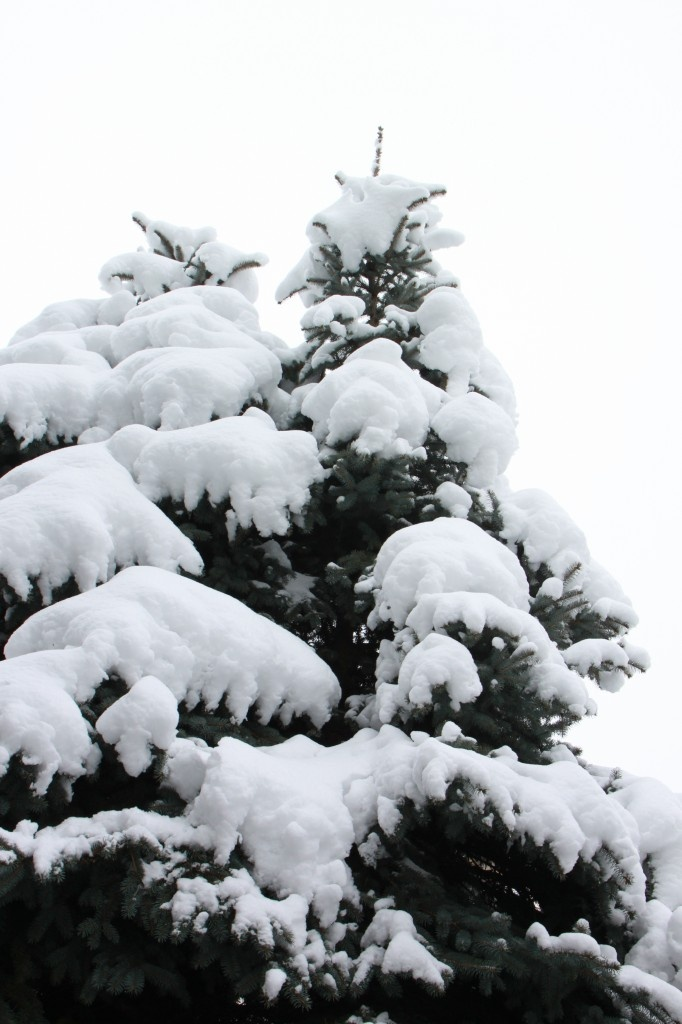 Spruce branches covered with snow - Public Domain Photos, Free Images for Commercial Use