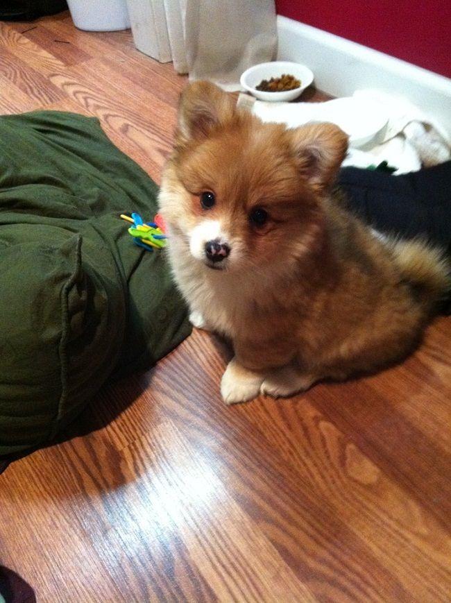 corgi pomeranian mix puppies | Zoe Fans Blog