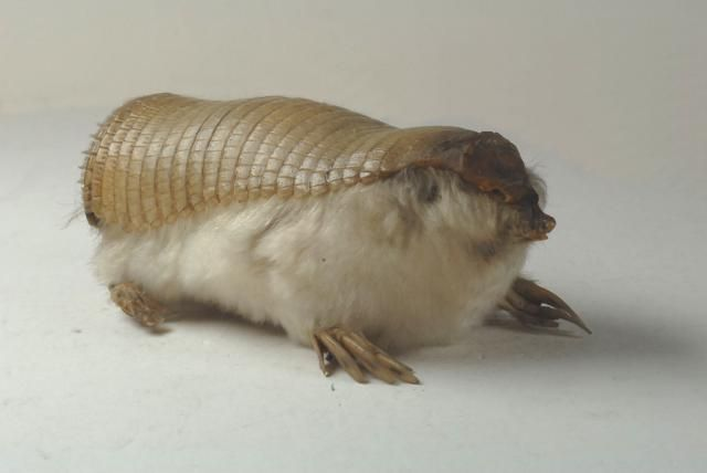 The Pink Fairy Armadillo is one part warm fuzzy, one part cold prickly. The plates of armor-like skin protect this lilliputian armadillo species (~4 inches) against abrasion whilst digging underground, where it spends nearly all of its time. The supremely creepy animal is currently endangered in central Argentina, where it is found.