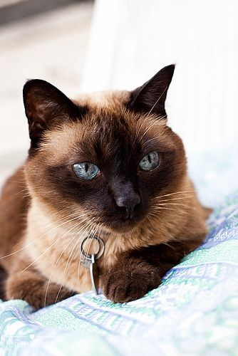 Applehead Siamese Cats | Siamese Cat Photos | Siamese Cat