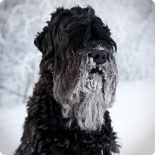 Русский Черный Терьер (Собака Сталина)  black russian with a snow beard