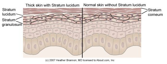 Epidermis Anatomy: Stratum Lucidum
