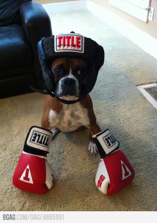 The King of BoxerBoxers Boxers, Boxers Puppies, Halloween Costumes, Boxers Dogs, Boxes Boxers, Pets, Funny, Things, Animal