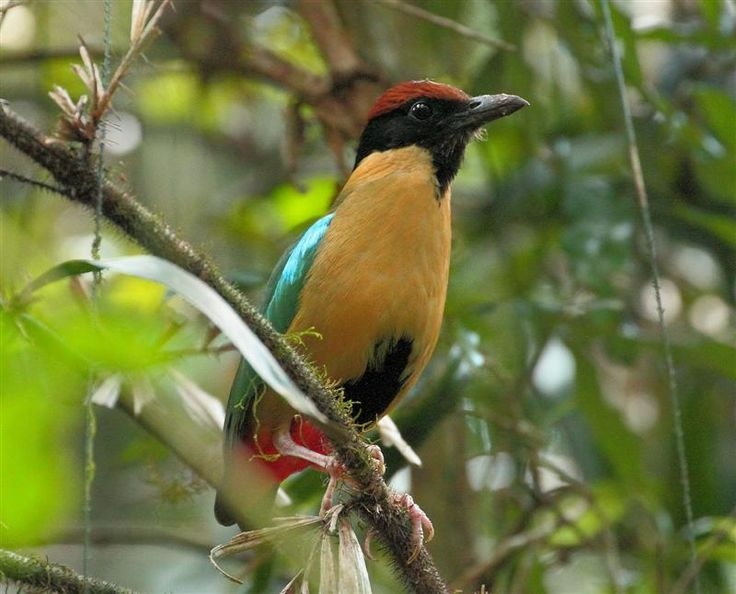 Noisy Pitta, Australia, Qld, Lamington National Park