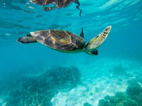 Turtle in Turquoise Bay - stock photo