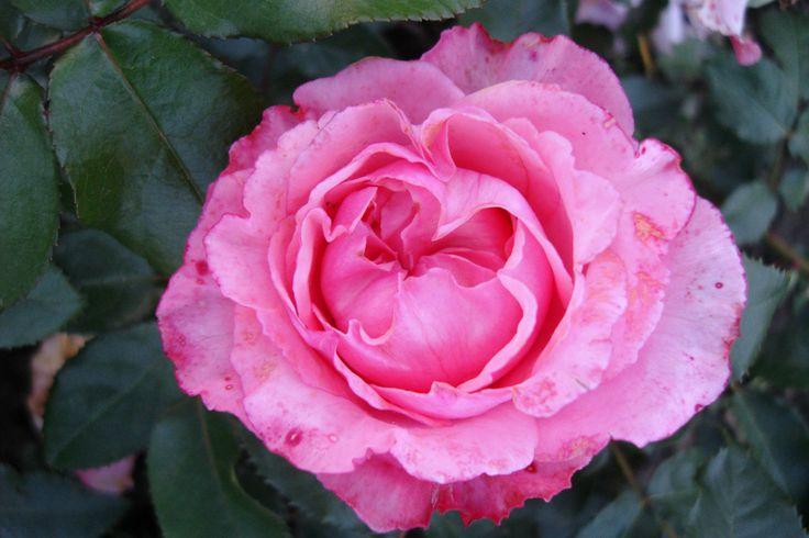 'I have a dream'™ Floribunda ros. 40-60 cm hög. Väldigt vackra blommor med lätt doft. Blommar från sommar till sen höst.