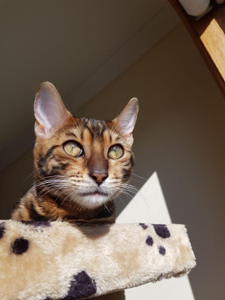 Briar - Toyger kitten