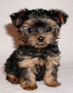 Cute Small Dogs That Stay Small For Sale