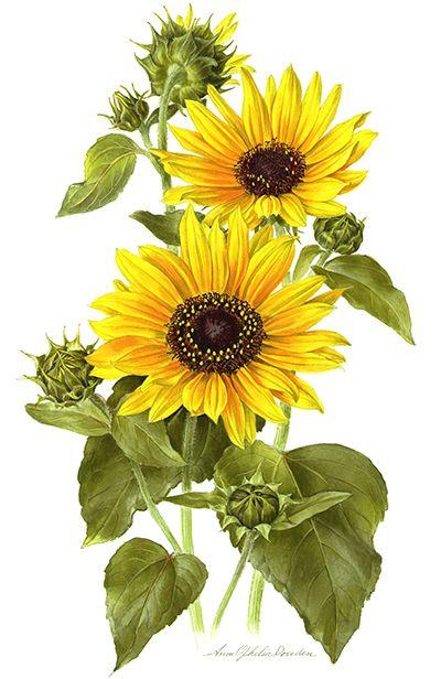 Image result for sunflower botanical illustration
