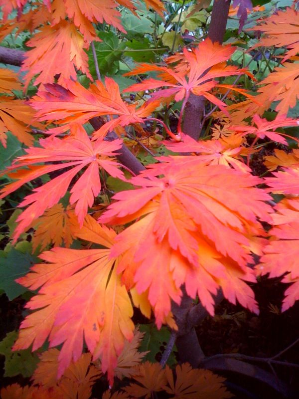 Acer japonicum 'Aconitifolium' strutting fall foliage color in Darcy Daniels home garden.