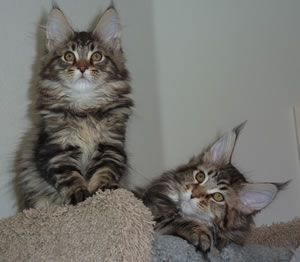 Maine Coon Kittens -Southern California -San Diego, http://www.mainecoonguide.com/maine-coon-vs-norwegian-forest-cat/