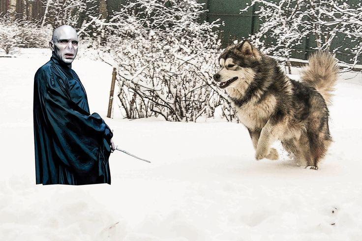 Маламут и Волан-Де-Морт / Malamute & Lord Voldemort