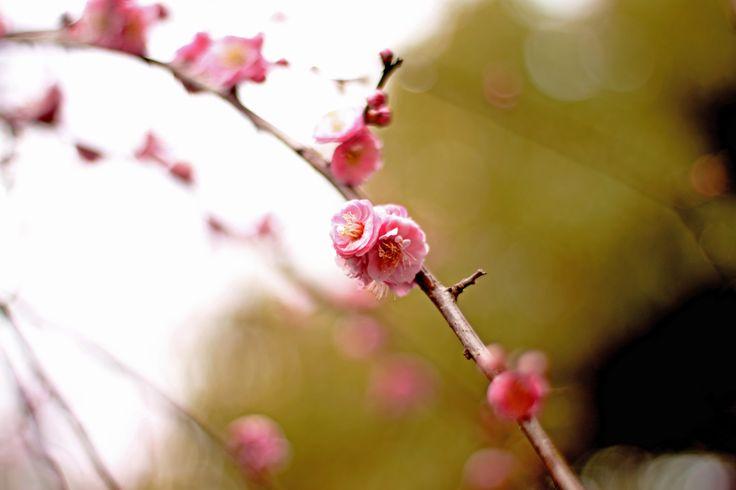 Plum Blossom in Osaka Castle