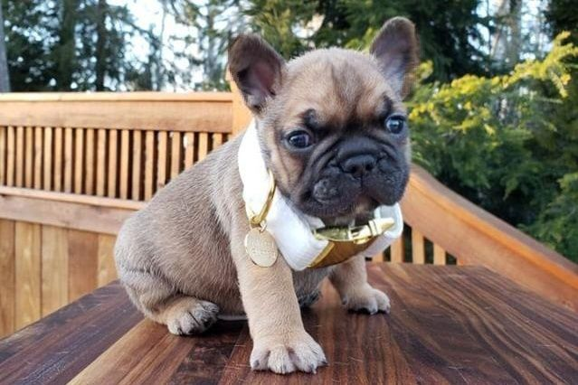 French Bulldog Breeder French Bulldog Breeders
