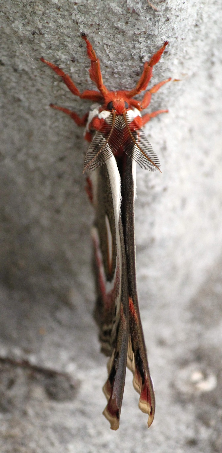 The Cecropia Moth (Hyalophora cecropia) is North America's largest native moth. It is a member of the Saturniidae family, or giant silk moths.