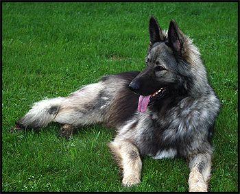 shiloh shepherd photo | Shiloh Shepherd Breeders, Shiloh Shepherd Puppies - Canada's Guide to ...