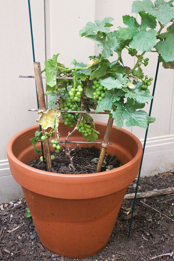 1924 best grape growing plants images on pinterest grape vines