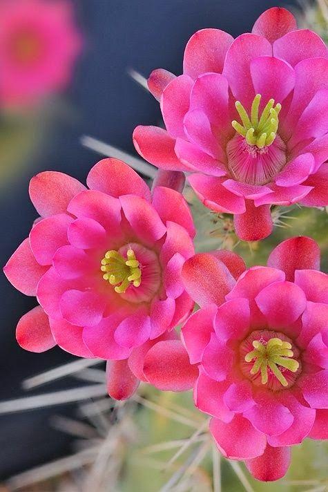 Claret Cup - Cactus Blossoms