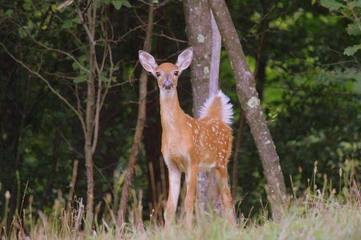 82 best images about great scenery in west virginia on for Deer scenery