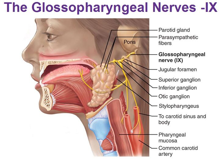glossopharyngeal nerve superior inferior otic ganglion parotid gland stylopharyngeus