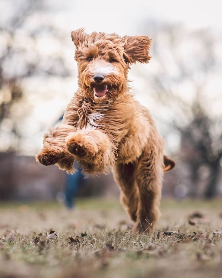 "6,352 Likes, 111 Comments - ZilkerBark | Dogs of Austin (@zilkerbark) on Instagram: ""Nellie, the 6mo old Goldendoodle. Recently discovered she can shed leaves and is absolutely…"""