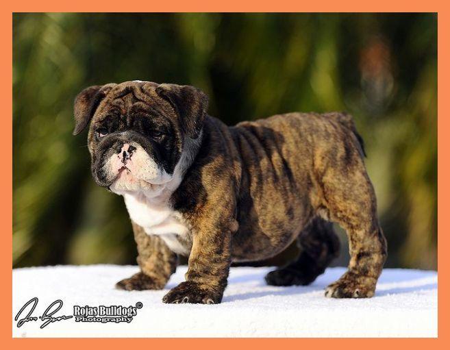 English Bulldog Puppies For Sale English Bulldog Canines For