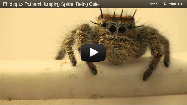Cutest Spider Ever.: Cutest Spider, Animals, Spiders, Bugs, Watch, Jumping Spider, Camera, Favorite Videos, Carolinensis Jumping