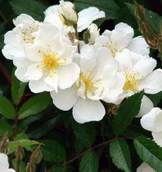 darlows enigma Ze kan groeien als doorbuigende 'groundhugging' struik, aan een klimpaal of aangebonden tegen een muur. Het gezonde blad is grijs-groen, de bloemen zijn klein, enkel en talrijk. Ze geurt sterk en aangenaam en bloeit de hele zomer door en maakt de ieflijkste botteltjes in de herfst.