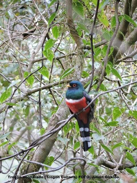Trogon acollarado- Aves del Valle del Cocora- Salento, Quindío, Colombia