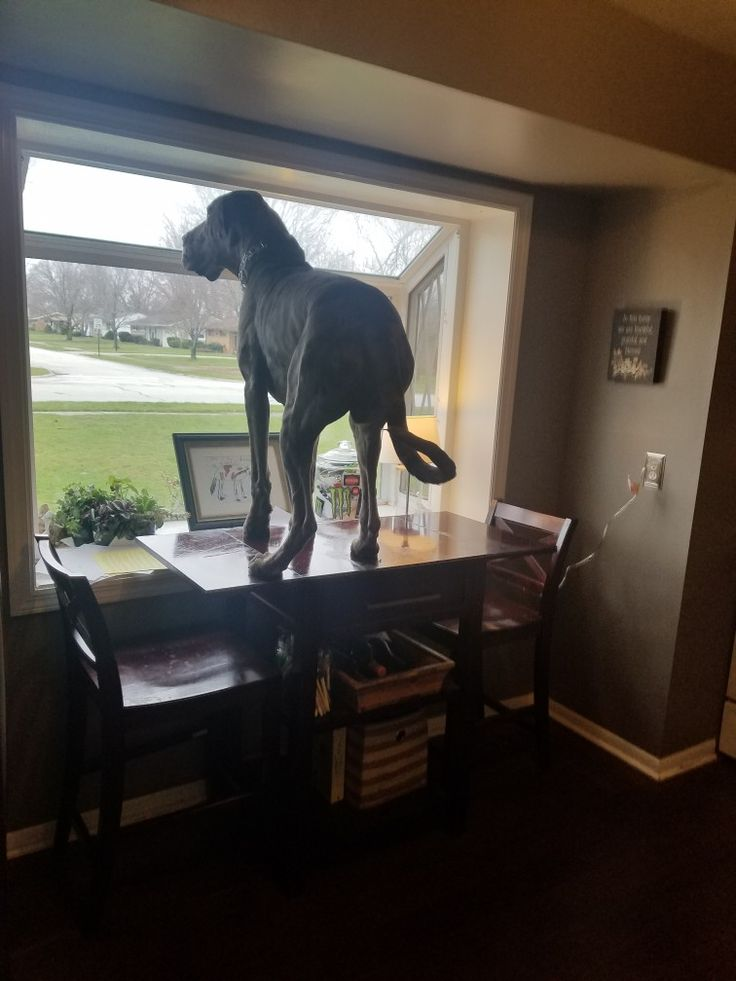 My 131 lb 10 month old Great Dane, Harley. He just ever so gently hopped up there like a rabbit. Lol